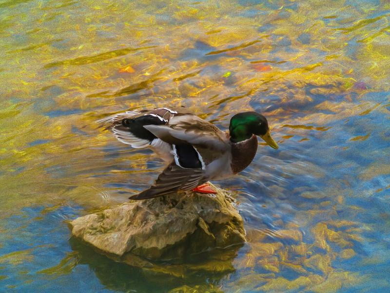 Male mallard duck standing on a rock in the river.
