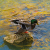 Male mallard duck standing on a rock in the river.