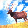 large Bull elk,Blue sky
