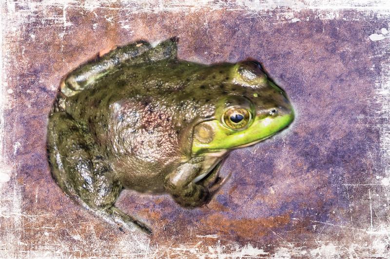 An art photograph of a Northern Green Frog.