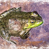 An art photograph of a Northern Green Frog.