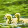 Three Canada geese fluffy yellow goslings.