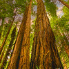 A group giant redwood trees in Muir Woods,California. Reaching for the sky