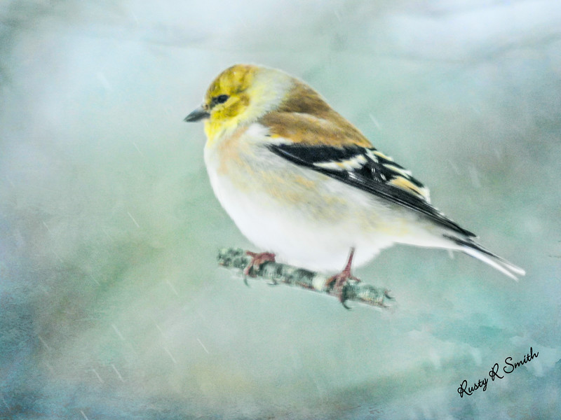 Goldfinch in falling snow.