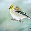 Goldfinch in falling snow.