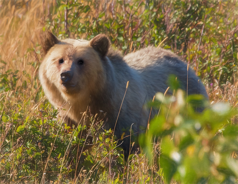 A  female Grizzly Bear looking alertly at the camera.