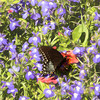 Butterfly on purple flowers.