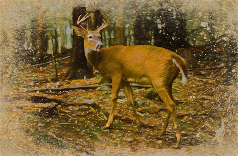 An Art photograph of  a large whitetailed buck  standing in profile looking back over his shoulder.