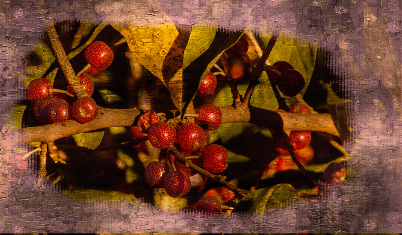 Close up view of a cluster of autumn olive berries