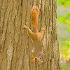 A red squirrel is on alert clinging upside down on a tree.