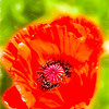 A single bright red poppy blossom