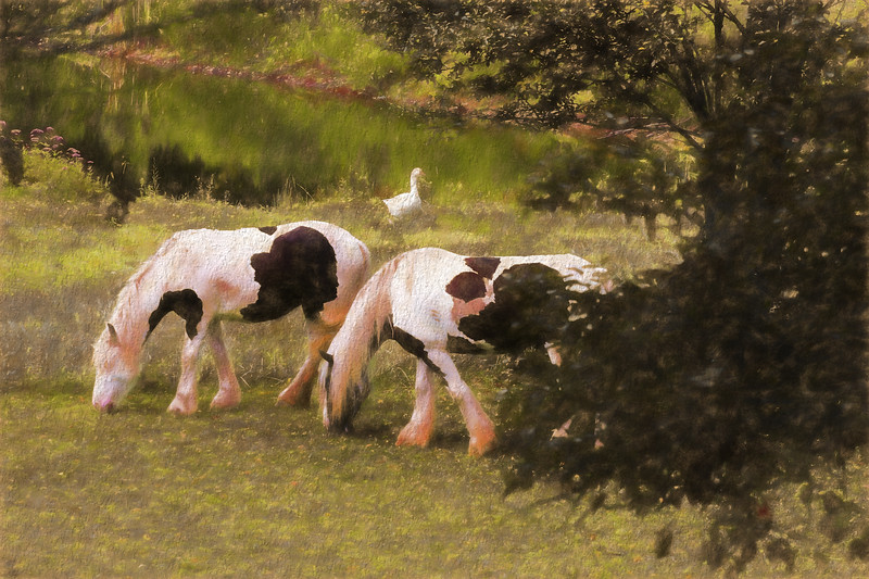 Two beautiful Gypsy Vanner horses grazing in a pasture. serenity