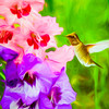 Hummingbird on Gladiolas.