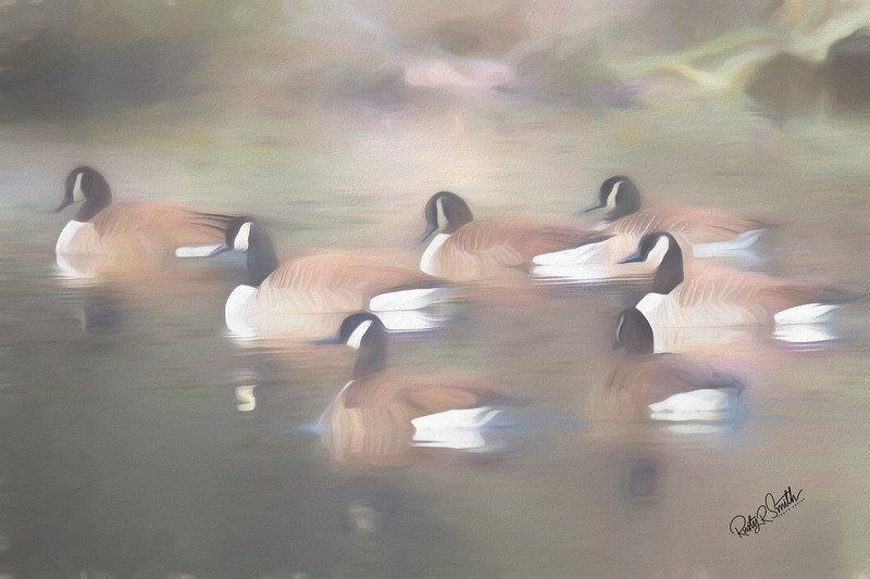 A gaggle of Canadian Geese swimmng on an Eastern Connecticut pond.