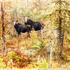 A mother and calf moose.