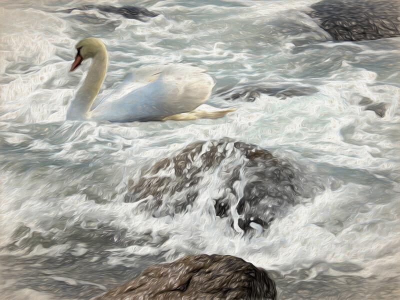 Mute swan in ocean surf.