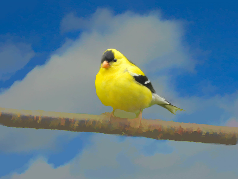 A beautiful yellow Gold Finch perched on a branch.