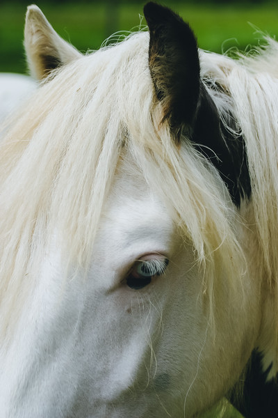 A head piece of a beautiful Gypsy Vanner horse.