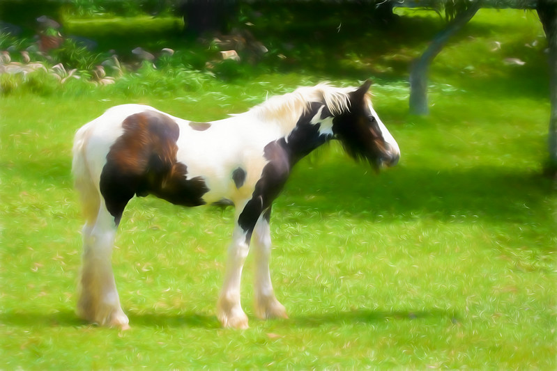 A beautiful young Gypsy Vanner standing in the pasture