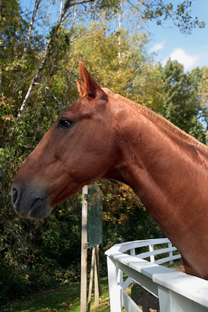A Vertical Stock Photograph of a head and neck profile of an alert brown horse.