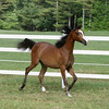 A horizontal stock photo of a Purebred Arabian filly running in the pasture.