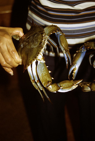 Close-up of female hand holding a large Blue Crab.