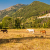 Three horses in a pasture with Mountains in  the background. Bear Creek Ranch Essex Montana.