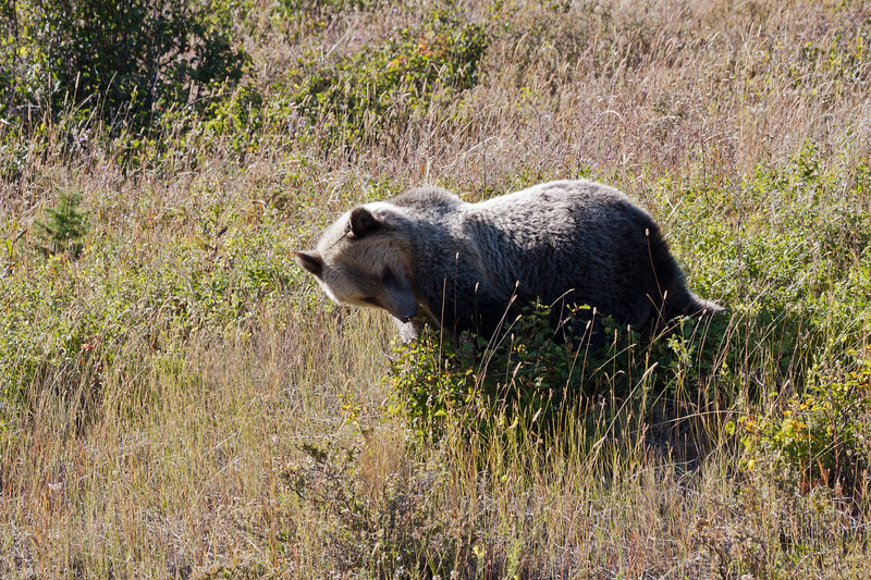 A horizontal stock photograph of a large grizzly bear. eating huckleberries. Many Glaciers area of Glacier National Park Montana.