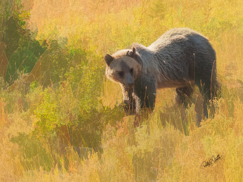 Montana Grizzly Bear feeding in the tall grass.