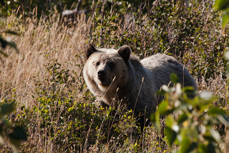 A horizontal stock photograph of a large grizzly bear. Many Glaciers area of Glacier National Park Montana.