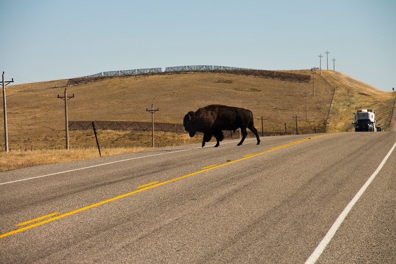 A horizontal stock photograph of a buffalo crossing Rt. 2 near Browning Montana on the Blackfeet Indian reservation.