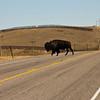 A horizontal stock photograph of a buffalo crossing Rt. 2 near Browning Montana on the Blackfeet Indian reservation.