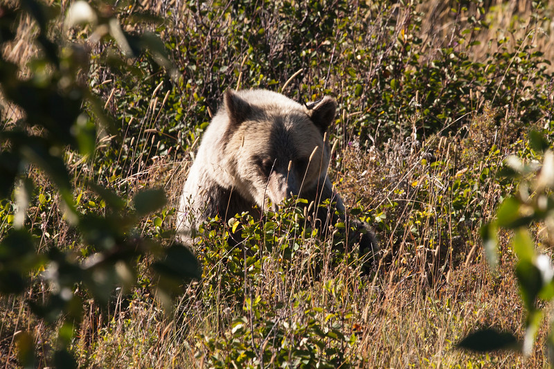 A horizontal stock photograph of a large grizzly bear. Sitting on hunches eating huckleberries. Many Glaciers area of Glacier National Park Montana.