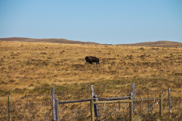 A horizontal stock photograph of a buffalo  standing in the prairie near Browning Montana on the Blackfeet Indian Reservation.