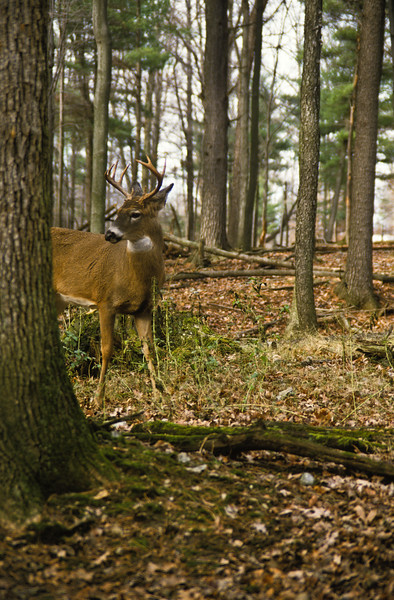 a vertical stock photograph of a white tailed buck standing alertly looking over his shoulder. nine point buck.