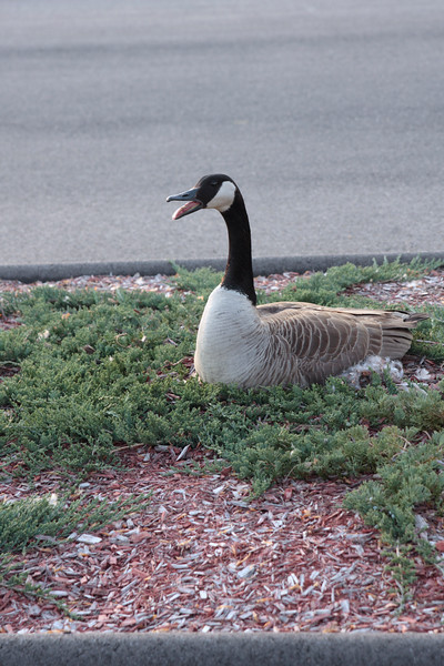 A Vertical Stock Photograph of a canadian goose sitting on a nest, located in an industrial parking lot.