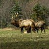 A Pa. Bull Elk with two cows.