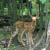 White-tailed deer fawn looking alert.