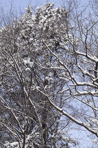A vertical stock photo of snow covered trees against a blue background.