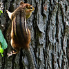 A close up view of an eastern chipmonk on an oak tree.
