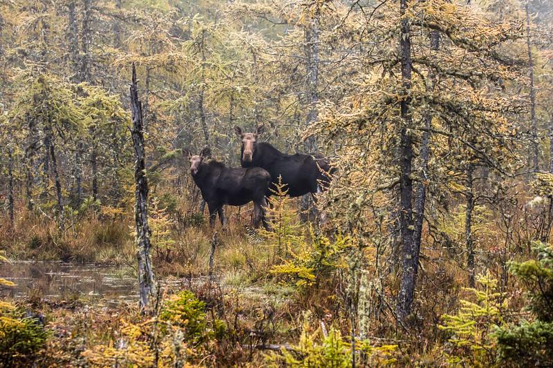 Female Moose and calf.