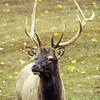 A vertical stock photograph of  a large bull Elk with a large rack of antlers. Benezette Pennsylvania