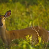 A horizontal stock photograph of wild alert white tailed doe.