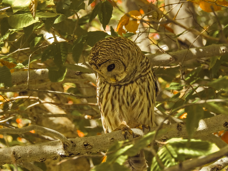 A horizontal stock photograph of a Barred Owl perched on a limb looking down.