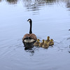 A Vertical Stock Photograph of a single Canadian Goose with five goslings swimming on a pond.