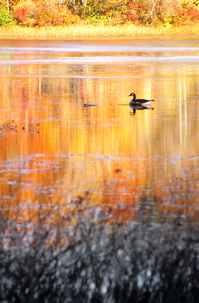 A Vertical Stock Photograph of a canadian goose setting on a pond turned gold by the late autumn reflection of the leaves.
