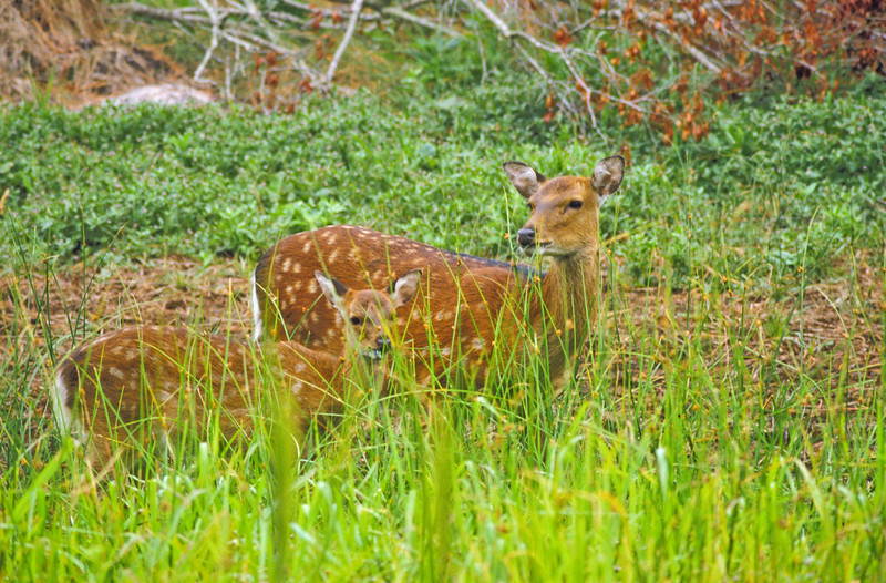 a horizontal stock photograph of  twin whitetailed deer fawns standing in tall green grass.