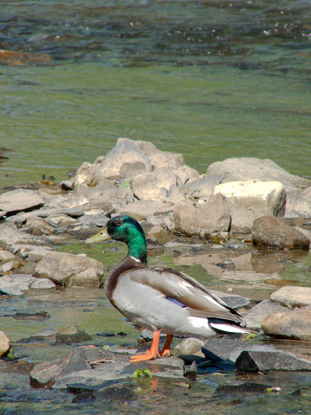 A colorful male mallard duck standing on rocks surrounded by water.