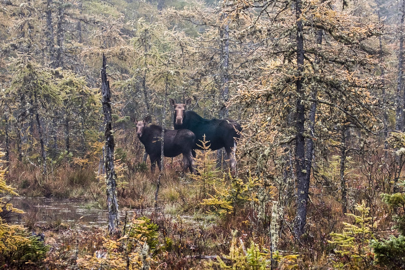 A horizontal stock photograph of a female moose and her calf standing in a spruce bog near Errol New Hampshire. A foggy fall morning.