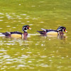 A pair of male wood ducks swimming together.